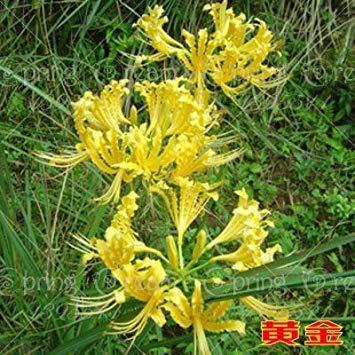 Echte Lycoris Radiata Birnen, Bana Birnen, (nicht Samen), Topfpflanzen Pflanzen der Jahreszeit Indoor Bonsai-Anlage für Hausgarten-2 Zwiebeln 5