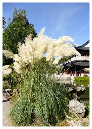 Tropica - Gräser und Bambus - Amerikanisches Pampasgras (Cortaderia selloana `Silber`) - 200 Samen