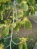 Asklepios-seeds® - 500 Semi di Hamamelis virginiana L'Amamelide