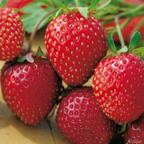 Erdbeere Honeoye - Fragaria x ananassa - früh, ertragreich, mittelrot, groß, sehr gleichmäßig, gut zu pflücken, süße Früchte