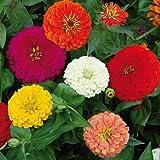 Kraft Seeds Zinnia Dahlia Flowers Mix GMO-free Seeds (Multicolour)