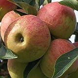 Grüner Garten Shop Elstar zweijähriger kräftiger Apfelbaum Buschbaum 120-150 cm 9,5 Liter Topf kleinbleibend M26
