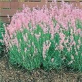 Vista 30 + Pink Lavendula Lavendel Blumensamen/Staude / Am wohlriechendsten