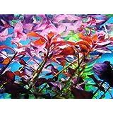 1 Manojo Ludwigia Glandulosa - Plantas de acuario