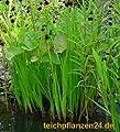 Startsortiment für Gartenteich Pflanzen, Bakterien von 522 - Du und dein Garten