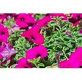 """Petunia colgante, Surfinia""""Rubina"""" - escarlata-púrpura - 80 semillas"""