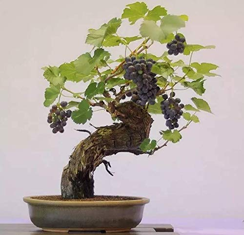 Portal Cool 20Pcs Miniatur Grape Vine Maple Bonsai Samen Baum-Blumen-Pflanzen-Hausgarten Vine Maple
