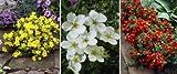 Dominik Blumen und Pflanzen, Fünffingerstrauch-Set, bestehend aus je 1 Pflanze gelb, rot und weiß blühend