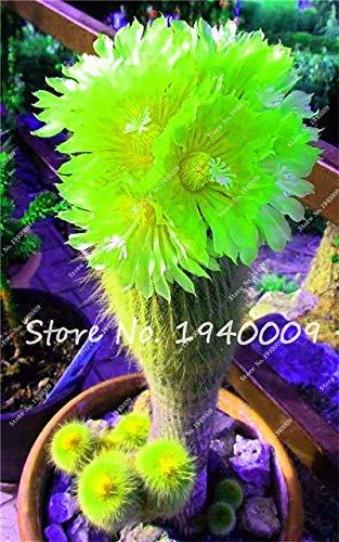Plentree Samen Paket: 100Pcs Amazon Seltene Bonsai Garden Diy Blumentopf Bonsai Sementes Indoor s SeedsFlower Startseite s Saftige zum Verkauf: 1
