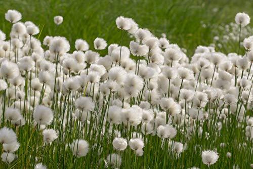Qulista Samenhaus - Rarität Teichpflanze Seidiges Wollgras immergrün Ziergras, 100pcs Sumpfpflanze Garten Blumensamen winterhart mehrjährig