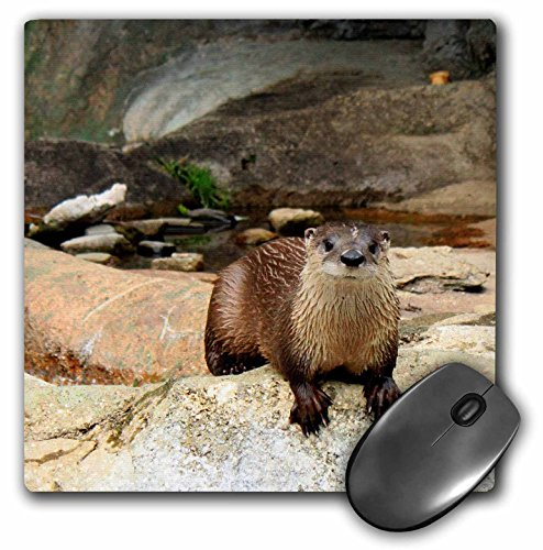 3drose LLC 20,3x 20,3x 0,6cm Maus Pad, ein Otter Staring gerade Ahead Looking at you (MP _ 63342_ 1) (Heavy-duty-tisch-pad)