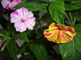 Mirabilis Jalapa, Striped Mix, 3g approx 36 seeds, Marvel of Peru, 4 O'clock Plant