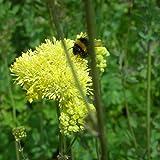 Blumixx Stauden Thalictrum flavum ssp. glaucum - Große Wiesenraute, im 0,5 Liter Topf, schwefelgelb blühend