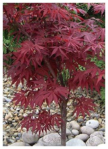 Tropica acero rosso acer rubrum 20 semi magic tropical for Acero rosso milano