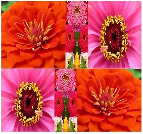Generic Seeds: 4 Unzen: DAHLIAED Mix Seed Zinnia Domförmige & Extended ~ Z. 3-10 -