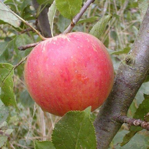 Apfel Topf ca