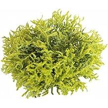 Stacheldrahtpflanze/Calocephalus 1st.