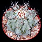Echinocactus platyacanthus (visnaga) seeds