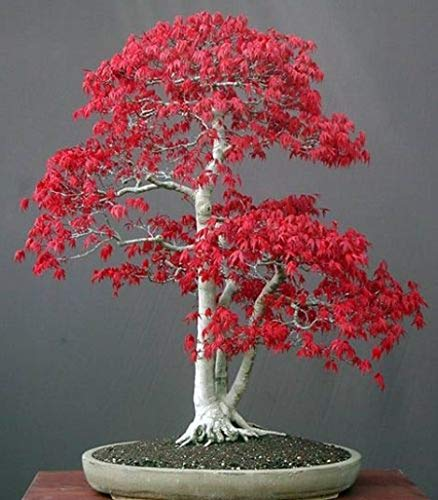 Acer palmatum - Arce japonés - bonsai - 10 semillas
