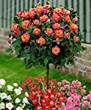 Shoopy Star 7: 20 PC/bag Gaint Thuja blau Zypresse Nadelbaum Baum Bonsai Samen Hausgarten P