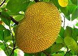 New 10 graines fraîches jacquier (Artocarpus altilis) Seed Tropical Novelty Worlds Largest graines de fruits tropicaux, 10 graines / lot