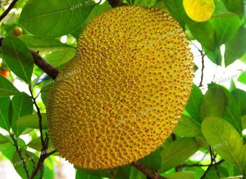 Neue 10 Samen Frische Jackfrucht (Artocarpus altilis) Seed Tropical Neuheit Worlds Largest tropische Frucht Samen, 10 Samen / lot