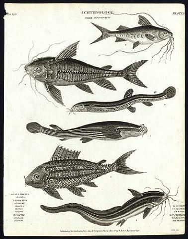 ThePrintsCollector ancien Imprimé Natural History-Poisson-Loricaria Silurus-- - - 1820 Anableps Rees