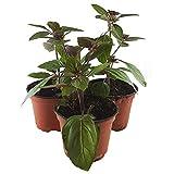 3 Strauchbasilikum - African Blue - (Set mit 3 Pflanzen) frische und robuste mediterrane Gewürzpflanze,in 12 cm Topf