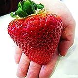 Brightup 100Pcs Heirloom Super Graines de fraises rouges Géantes Jardin Graines