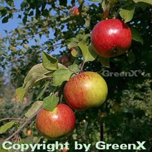 Apfelbaum Gravensteiner 60-80cm – saftig und locker