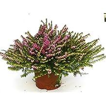 Erica darleyensis - winterharte Erika rot im 12 cm Topf