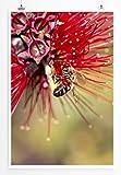 Sinus Art Kunst und Deko Poster - Naturfotografie – Roter Zylinderputzer mit Honigbiene- Fotodruck in gestochen scharfer Qualität