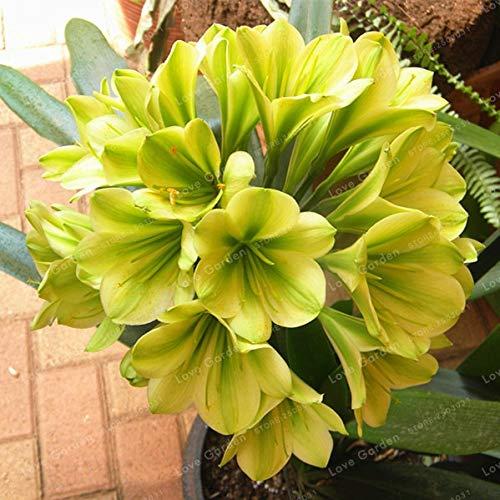Bloom Green Co. Hot Verkauf Klivie Pflanze Herrliche Bonsai Seltene Bush Lilie Blume Bonsai DIY Hausgarten mit hohem Zierwert 100 Stück: 2