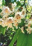 TROPICA - albero di catalpa (Catalpa bignonioides) - 40 semi