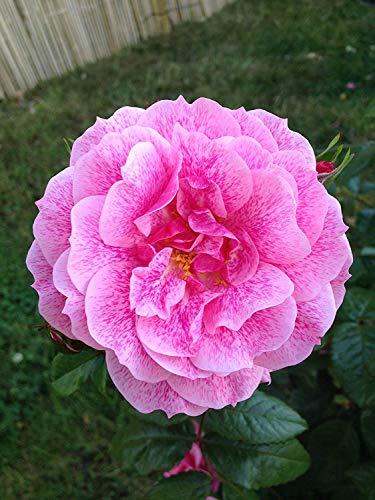 Shop Meeko CAMELOT - 5.5lt Topf Klettergarten Rose - pinkfarbener rosa mit dunkelrosa Fleck, duftend, Wiederholen Blüte -