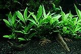 1-2-GROW! Schmalblättriger Wasserfreund/Hygrophila corymbosa 'Siamensis 53B'