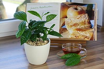 Amazon.de Pflanzenservice Kräuter, Bio Echter Tee, grün, 40x25x15 cm, 892322 von Amazon.de Pflanzenservice auf Du und dein Garten