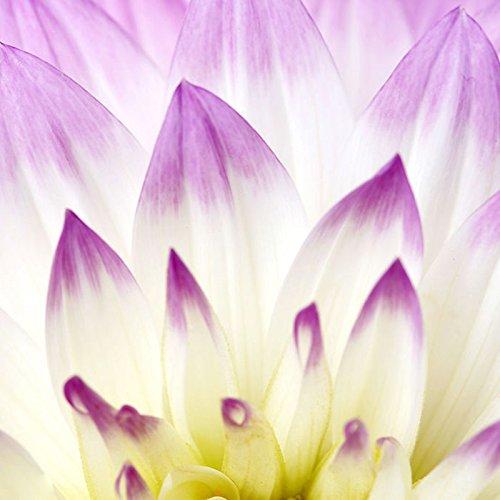 Rare Seeds Violet Dahlia Belle vivace Fleurs Graines Dahlia pour le bricolage jardin - 100 PCS