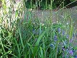 Staudenkulturen Wauschkuhn Carex pendula - Riesensegge - Gras im 9cm Topf