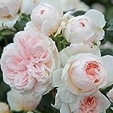 """Kletterrose """"Sabrina®"""" - cremeweiß blühende, duftende ADR-Topfrose im 6 L Topf - frisch aus der Gärtnerei - Pflanzen-Kölle Gartenrose"""