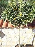 Kumquat/Citrus fortunella'Margarita' / Miniorange/Kumquat Pflanze