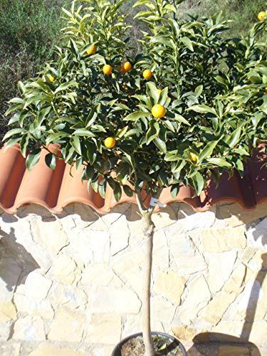 """Kumquat/Citrus fortunella""""Margarita"""" / Miniorange/Kumquat Pflanze"""