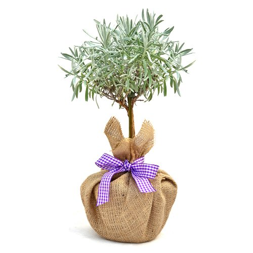 mini-stemmed-lavender-ideal-plants-flower-gifts-for-mothers-day-birthday-for-all-gift-occasions
