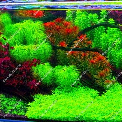 nuovo-nuovo-1000-pezzi-come-pine-aquatic-piantare-i-semi-coperta-ornamentale-di-trasporto-dal-vivo-a