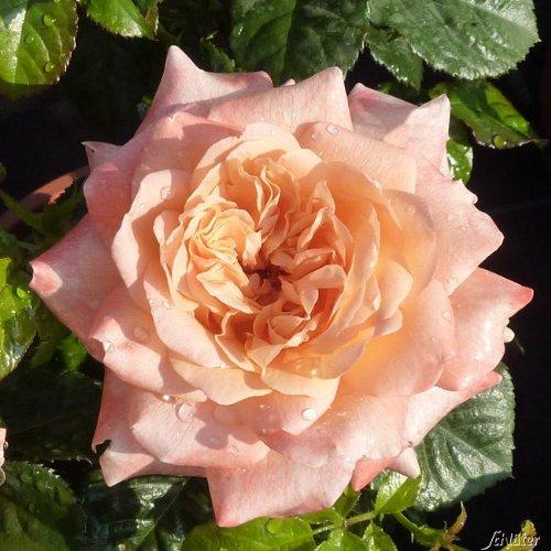 OBI Blütenreich und mehrfachblühend