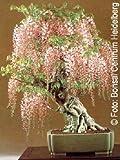 Tropica - Bonsai - glicine (Wisteria sinensis) - 4 semi