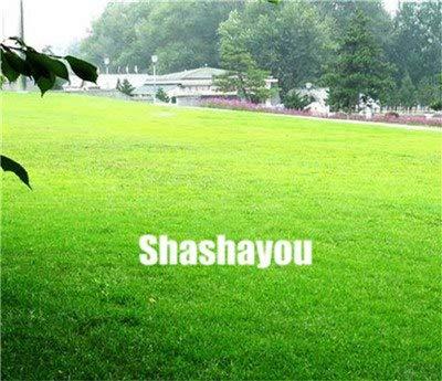 Bloom Green Co. 200 Pcs GAZONS Bonsai Golf de catégorie spéciale Evergreen Lawn Bonsai Terrains de soccer Villa haute Fleurs Etat Bonsai Jardin des plantes: 7