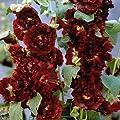 lichtnelke - Stockrose (Alcea rosea) kastanie von Lichtnelke Pflanzenversand auf Du und dein Garten