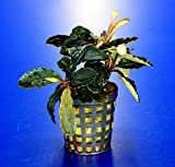 Bucephalandra 'Theia green blue' im Topf...