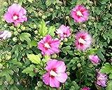 Hibiscus syriacus 'Woodbridge' - (Hibiskus - Garteneibisch 'Woodbridge')- Containerware 60-100 cm